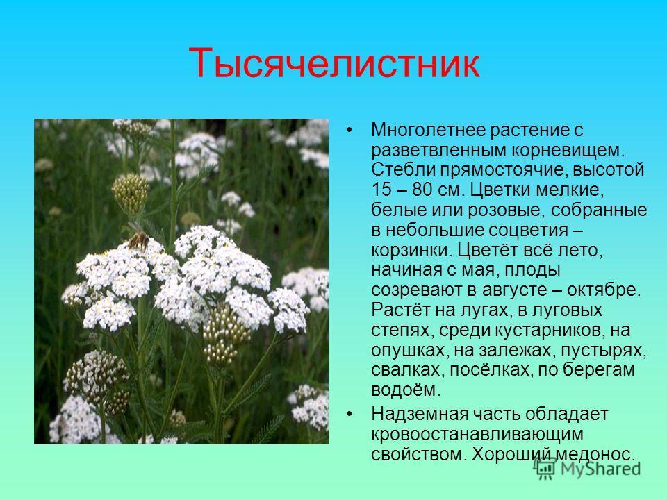 Тысячелистник Многолетнее растение с разветвленным корневищем. Стебли прямостоячие, высотой 15 – 80 см. Цветки мелкие, белые или розовые, собранные в небольшие соцветия – корзинки. Цветёт всё лето, начиная с мая, плоды созревают в августе – октябре.