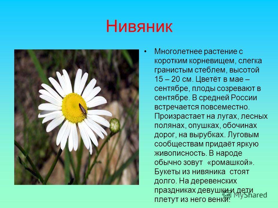 Нивяник Многолетнее растение с коротким корневищем, слегка гранистым стеблем, высотой 15 – 20 см. Цветёт в мае – сентябре, плоды созревают в сентябре. В средней России встречается повсеместно. Произрастает на лугах, лесных полянах, опушках, обочинах