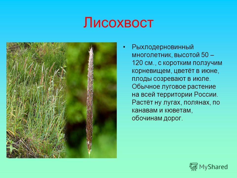 Лисохвост Рыхлодерновинный многолетник, высотой 50 – 120 см., с коротким ползучим корневищем, цветёт в июне, плоды созревают в июле. Обычное луговое растение на всей территории России. Растёт ну лугах, полянах, по канавам и кюветам, обочинам дорог.