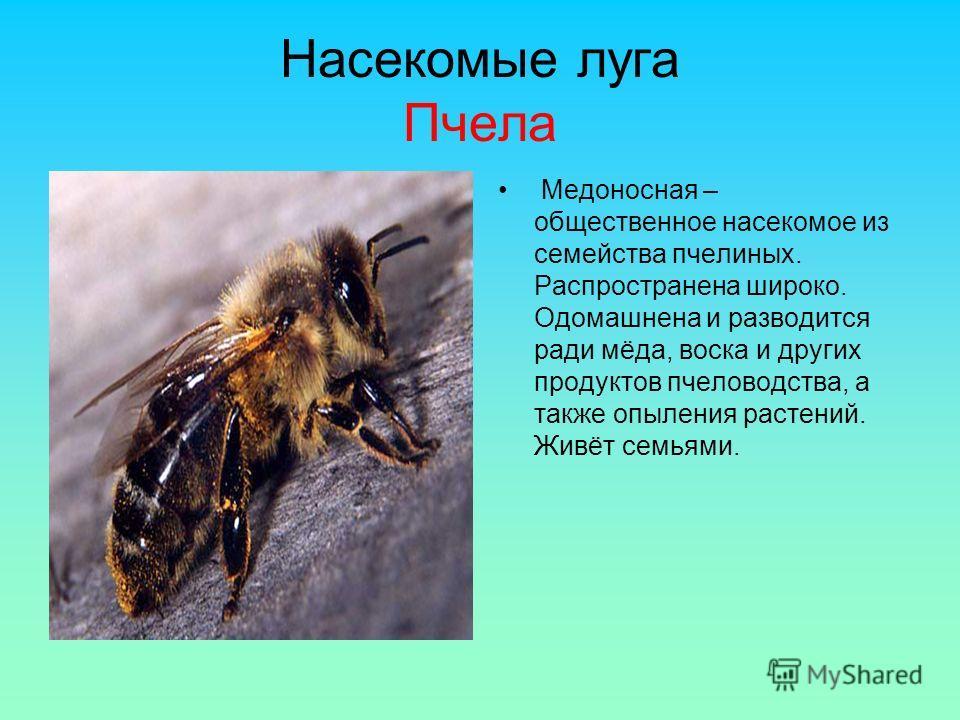Насекомые луга Пчела Медоносная – общественное насекомое из семейства пчелиных. Распространена широко. Одомашнена и разводится ради мёда, воска и других продуктов пчеловодства, а также опыления растений. Живёт семьями.