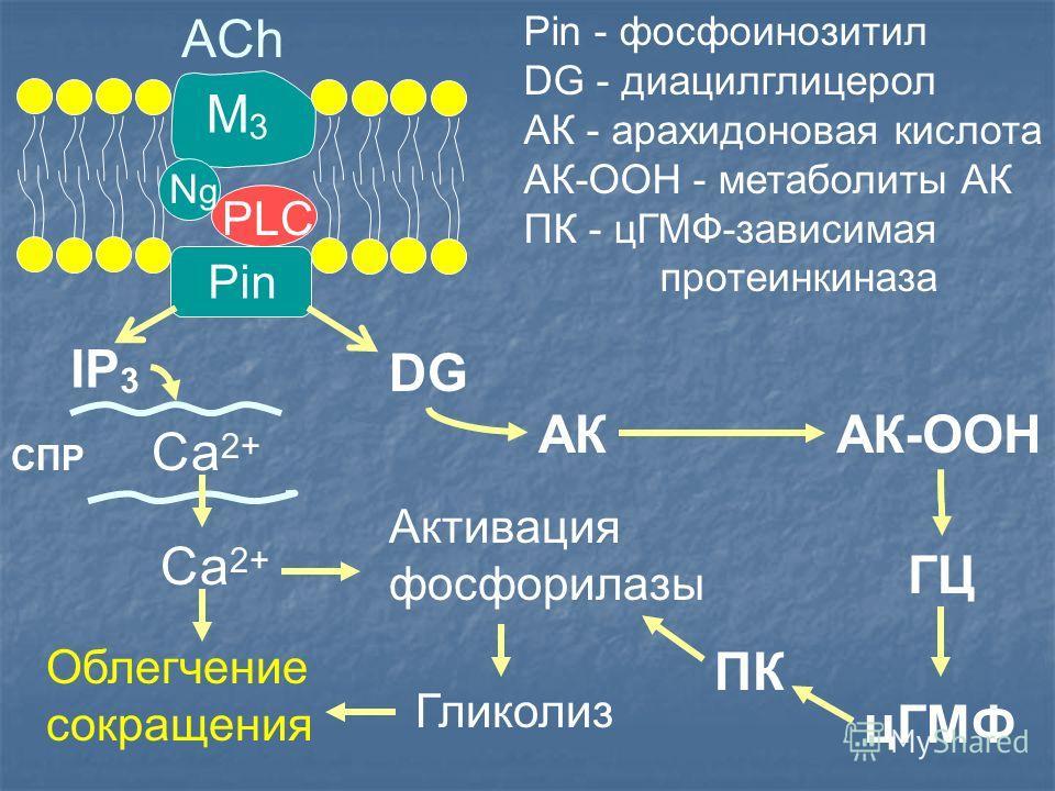Pin ACh M3M3 PLC IP 3 DG СПР Са 2+ АК ГЦ цГМФ ПК Гликолиз Pin - фосфоинозитил DG - диацилглицерол АК - арахидоновая кислота АК-ООН - метаболиты АК ПК - цГМФ-зависимая протеинкиназа АК-ООН Активация фосфорилазы Облегчение сокращения NgNg