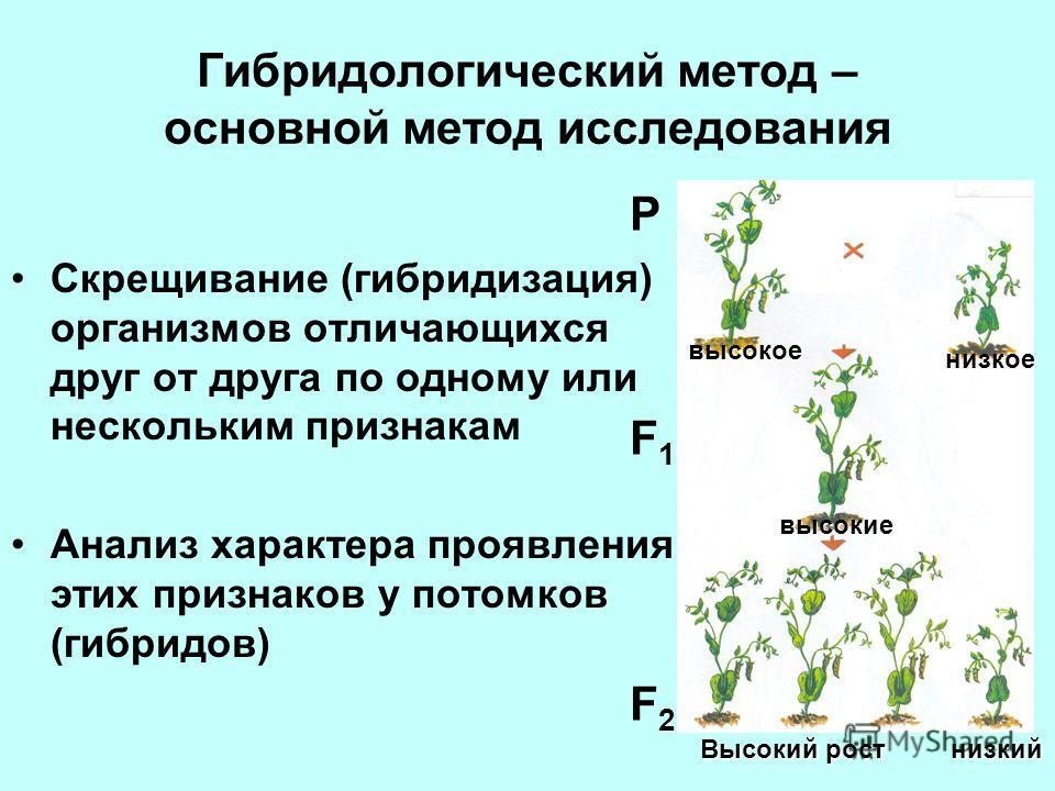 Гибридологический метод – основной метод исследования Скрещивание (гибридизация) организмов отличающихся друг от друга по одному или нескольким признакам Анализ характера проявления этих признаков у потомков (гибридов) P F1F1 F2F2 Высокий рост низкий