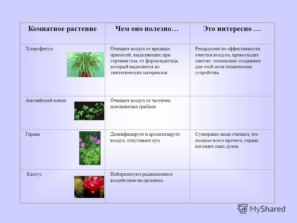 Кактус Комнатное растениеЧем оно полезно…Это интересно … ХлорофитумОчищает воздух от вредных примесей, выделяющих при горении газа, от формальдегида, который выделяется из синтетических материалов Рекордсмен по эффективности очистки воздуха, превосхо