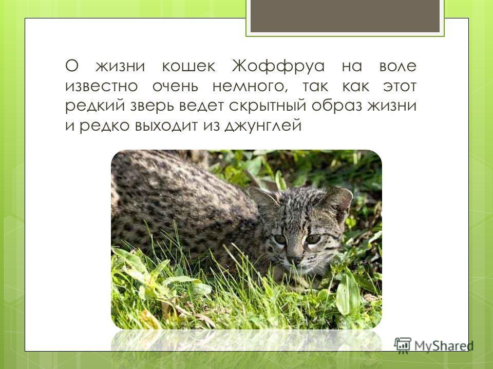 О жизни кошек Жоффруа на воле известно очень немного, так как этот редкий зверь ведет скрытный образ жизни и редко выходит из джунглей