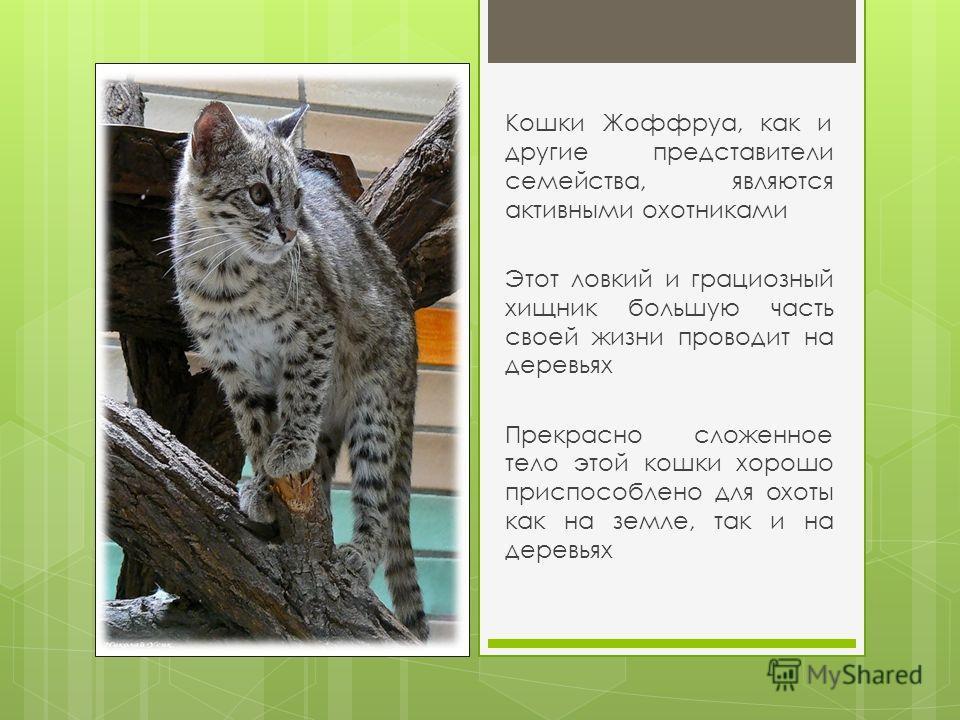 Кошки Жоффруа, как и другие представители семейства, являются активными охотниками Этот ловкий и грациозный хищник большую часть своей жизни проводит на деревьях Прекрасно сложенное тело этой кошки хорошо приспособлено для охоты как на земле, так и н