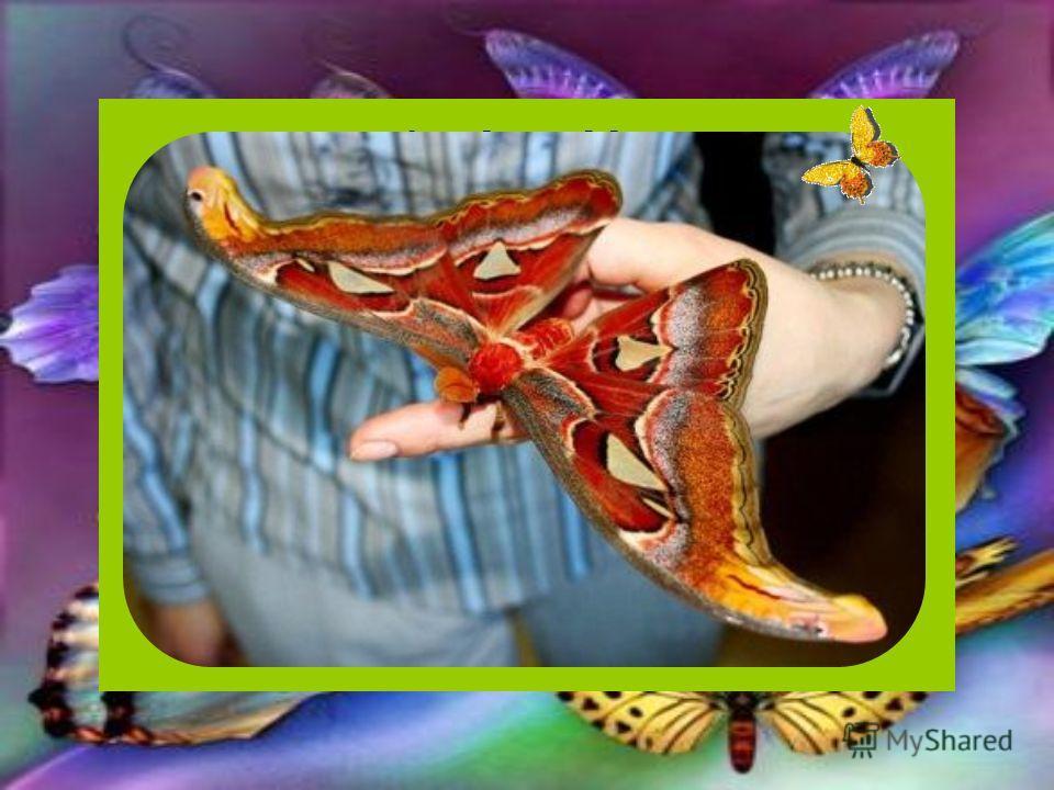 Самая большая бабочка Павлиноглазка. Эта гигантская бабочка обитает на территории простирающейся от Северо-Восточной Индии до Новой Гвинеи. По площади крыльев, иногда превышающих в размахе 250 мм, она признана крупнейшей бабочкой в мире. Есть сведени