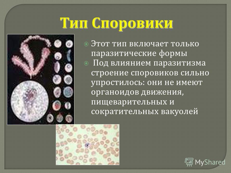Тип Споровики Этот тип включает только паразитические формы Под влиянием паразитизма строение споровиков сильно упростилось : они не имеют органоидов движения, пищеварительных и сократительных вакуолей