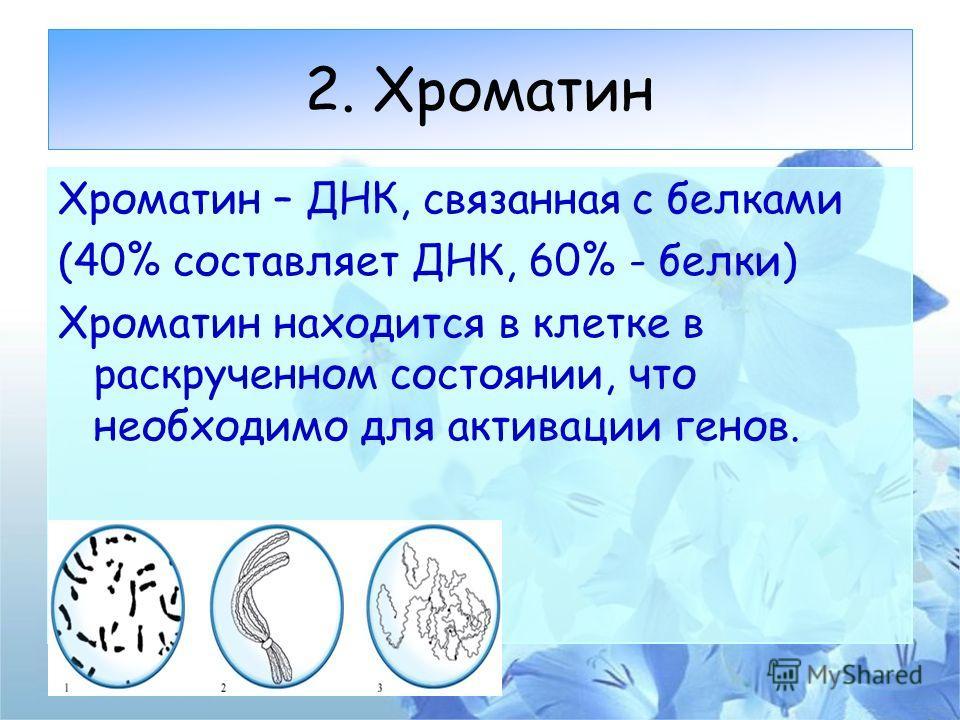 2. Хроматин Хроматин – ДНК, связанная с белками (40% составляет ДНК, 60% - белки) Хроматин находится в клетке в раскрученном состоянии, что необходимо для активации генов.