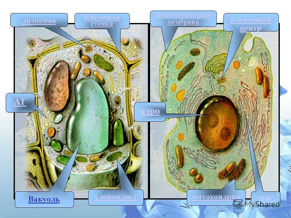 ЭПС АГ ядро митохондрия клеточный центр лизосома Вакуоль хлоропласт Плазматическая мембрана Клеточная стенка