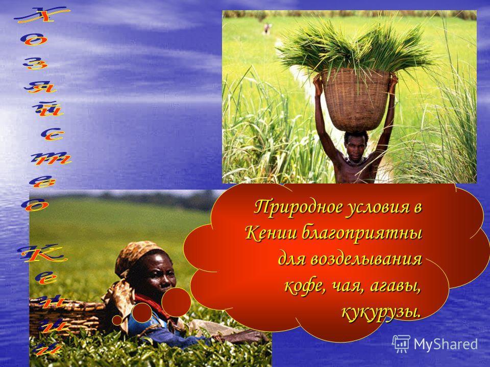 Природное условия в Кении благоприятны для возделывания кофе, чая, агавы, кукурузы.