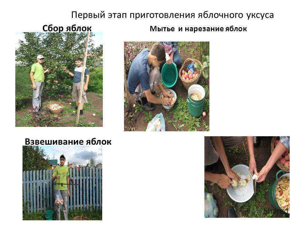 Первый этап приготовления яблочного уксуса Сбор яблок Взвешивание яблок Мытье и нарезание яблок