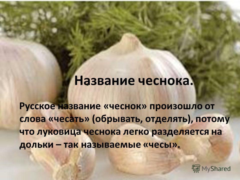 Название чеснока. Русское название «чеснок» произошло от слова «чесать» (обрывать, отделять), потому что луковица чеснока легко разделяется на дольки – так называемые «чесы».