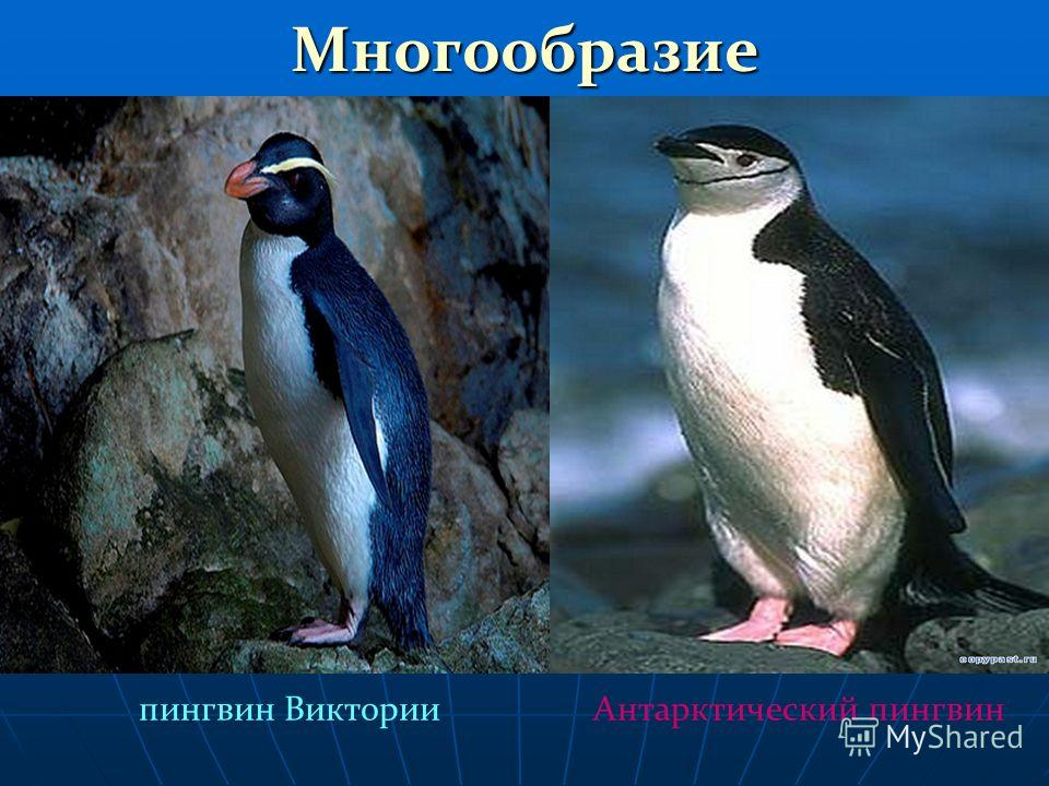 Многообразие пингвин ВикторииАнтарктический пингвин