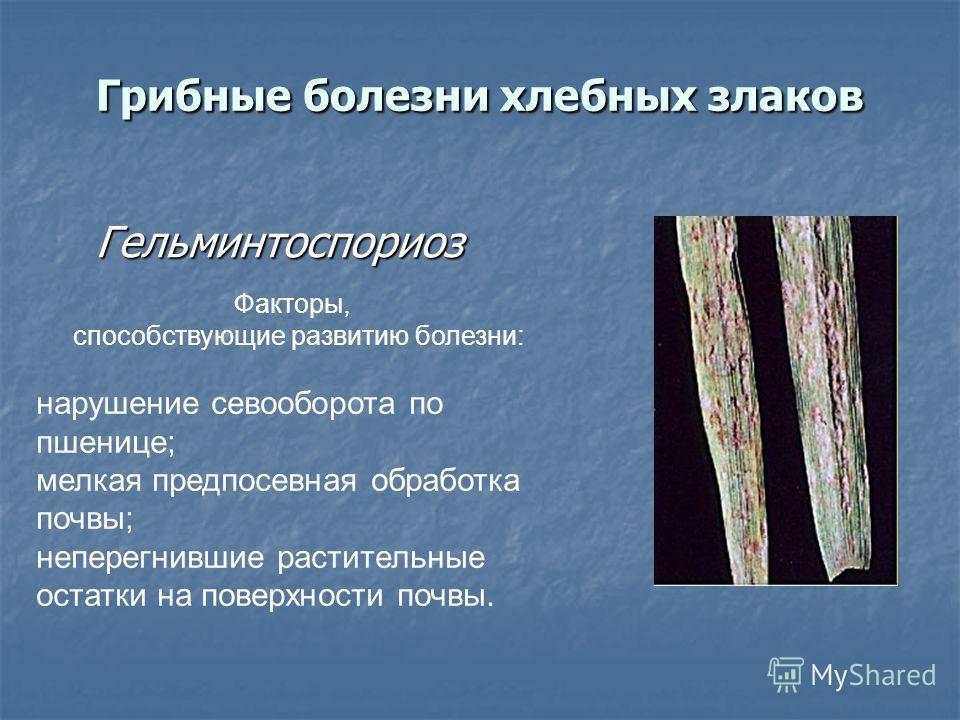 Грибные болезни хлебных злаков Гельминтоспориоз Гельминтоспориоз Факторы, способствующие развитию болезни: нарушение севооборота по пшенице; мелкая предпосевная обработка почвы; неперегнившие растительные остатки на поверхности почвы.