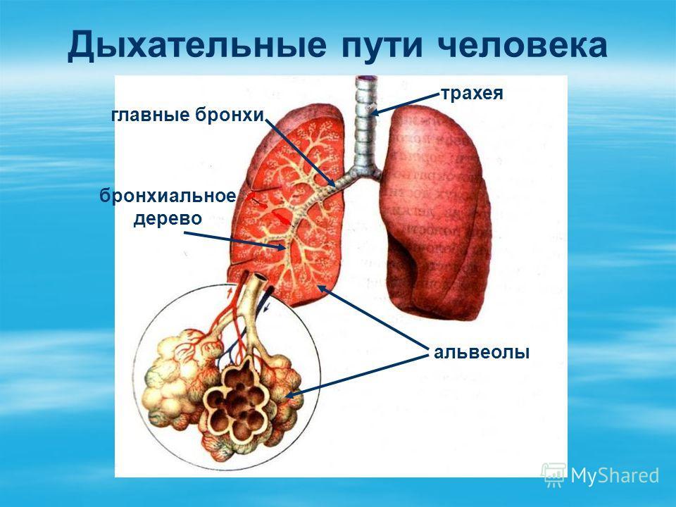 Дыхательные пути человека трахея альвеолы бронхиальное дерево главные бронхи