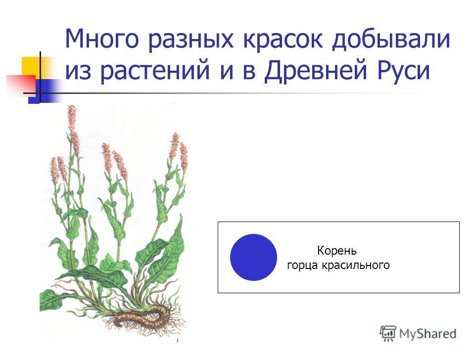 Много разных красок добывали из растений и в Древней Руси Корень горца красильного