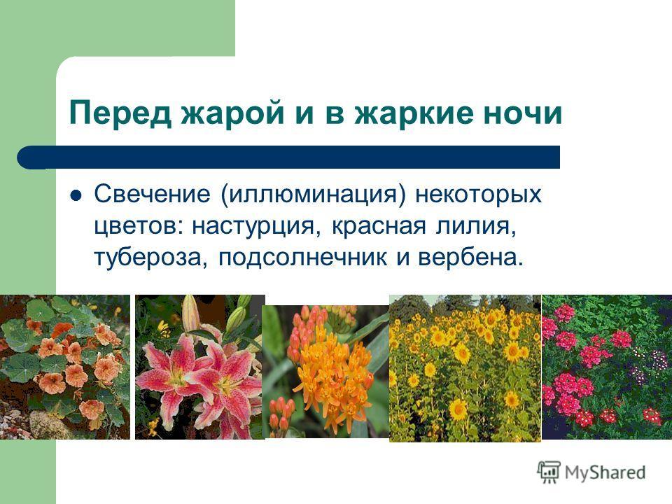 Перед жарой и в жаркие ночи Свечение (иллюминация) некоторых цветов: настурция, красная лилия, тубероза, подсолнечник и вербена.