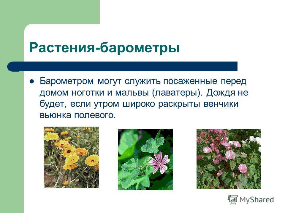 Растения-барометры Барометром могут служить посаженные перед домом ноготки и мальвы (лаватеры). Дождя не будет, если утром широко раскрыты венчики вьюнка полевого.
