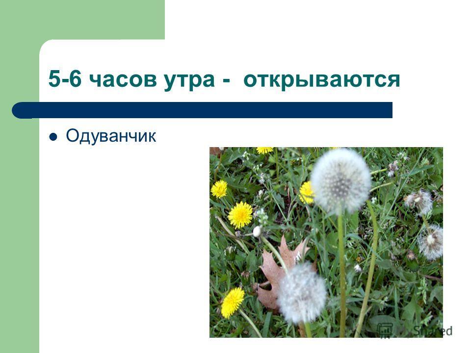 5-6 часов утра - открываются Одуванчик