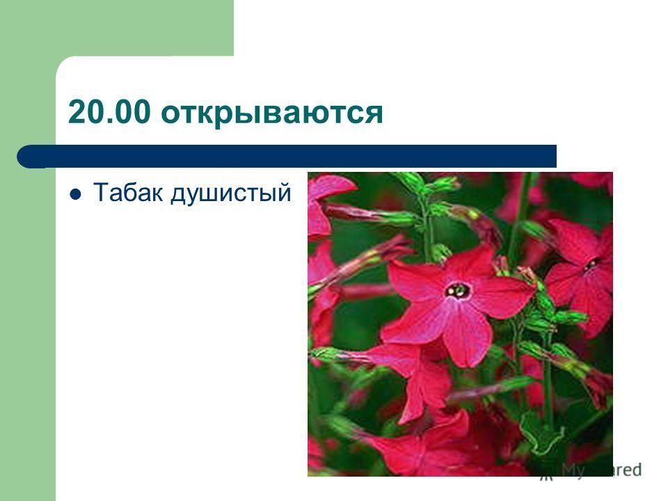 20.00 открываются Табак душистый