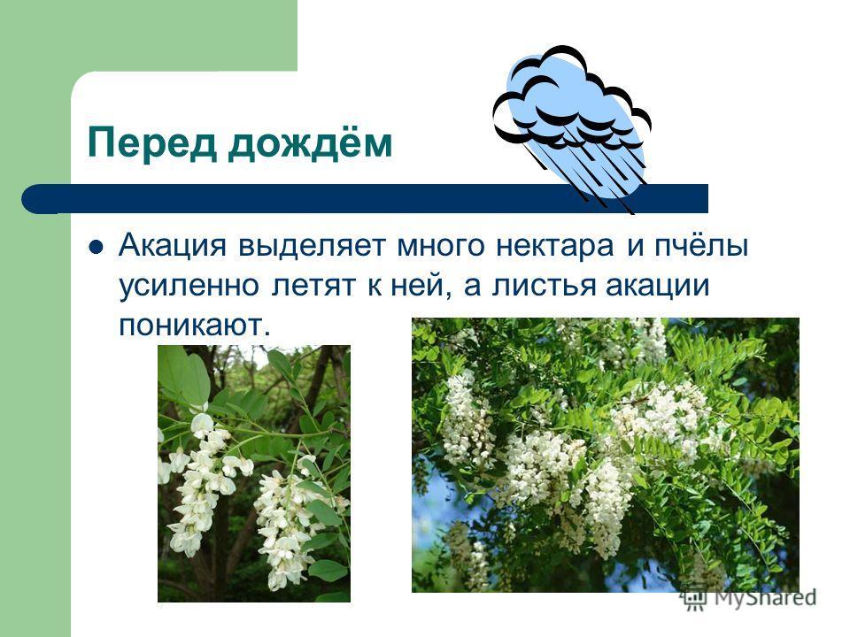 Перед дождём Акация выделяет много нектара и пчёлы усиленно летят к ней, а листья акации поникают.