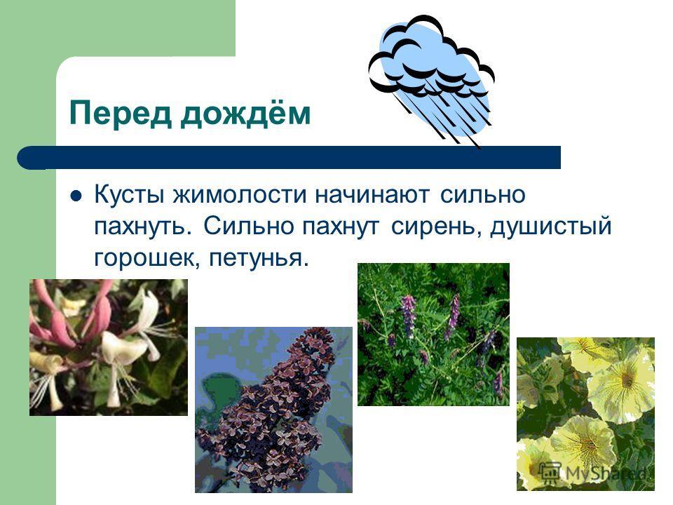 Перед дождём Кусты жимолости начинают сильно пахнуть. Сильно пахнут сирень, душистый горошек, петунья.