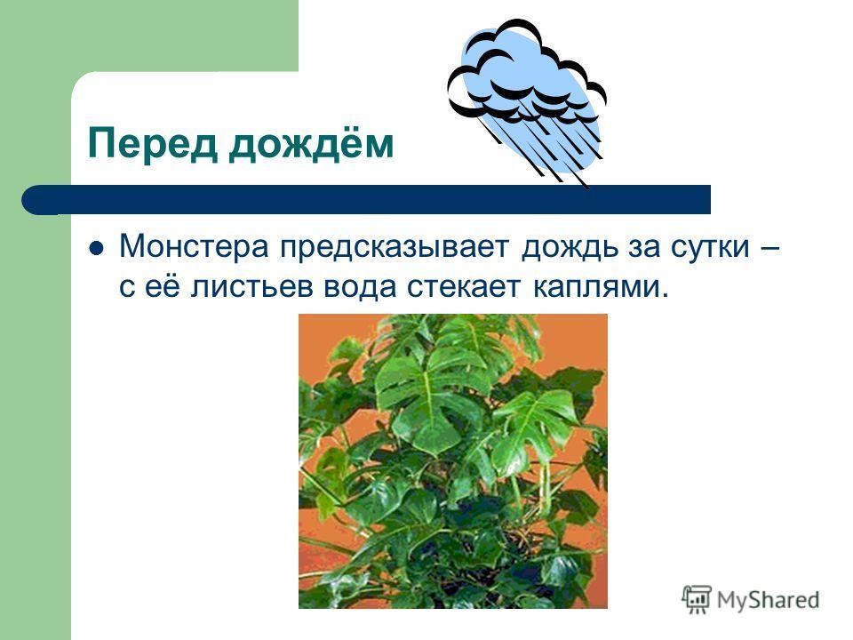 Перед дождём Монстера предсказывает дождь за сутки – с её листьев вода стекает каплями.
