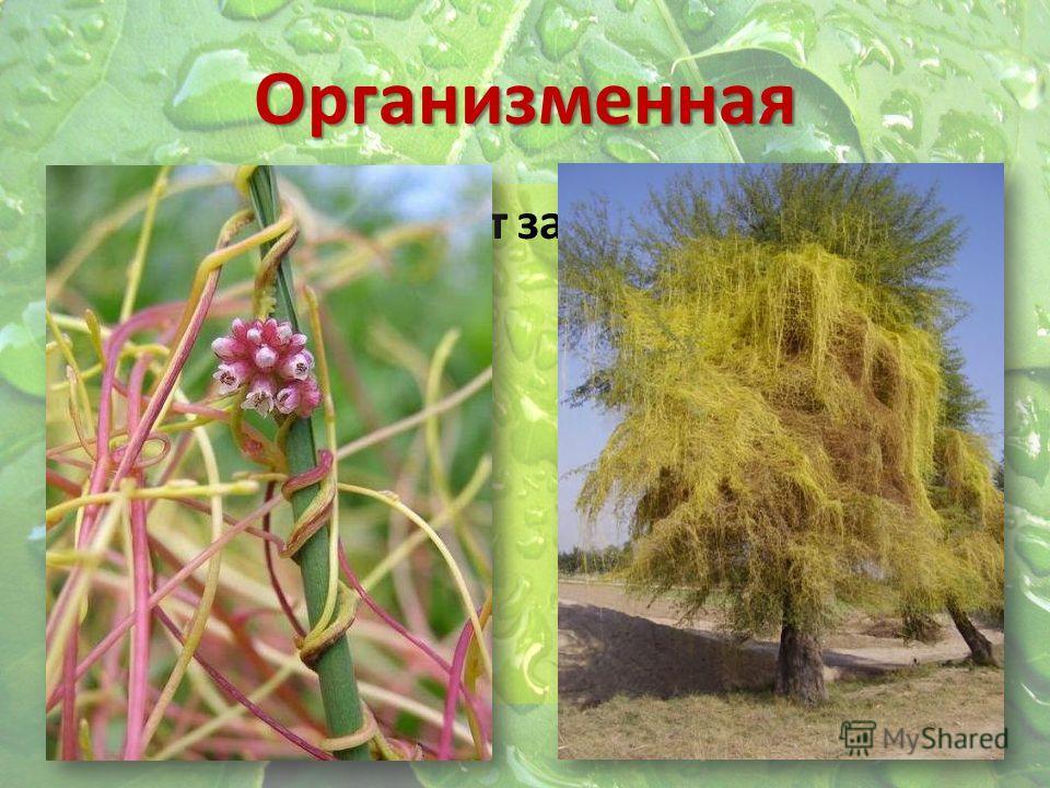 Организменная Растение-паразит зависит от растения- хозяина
