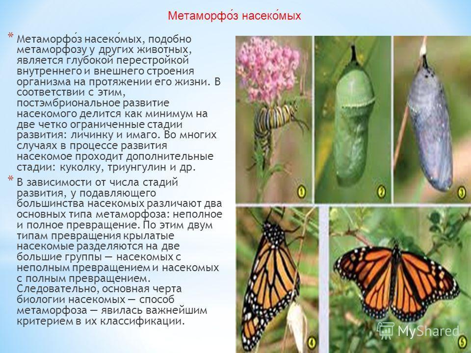 * Метаморфоз насекомых, подобно метаморфозу у других животных, является глубокой перестройкой внутреннего и внешнего строения организма на протяжении его жизни. В соответствии с этим, постэмбриональное развитие насекомого делится как минимум на две ч