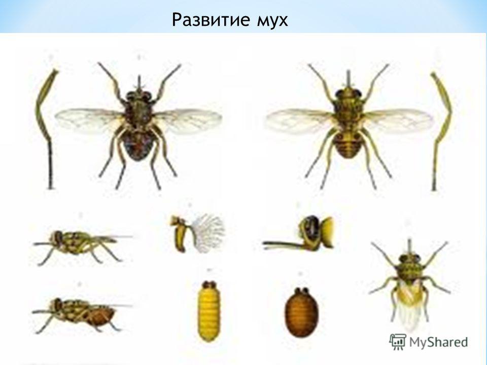 Развитие мух мухи