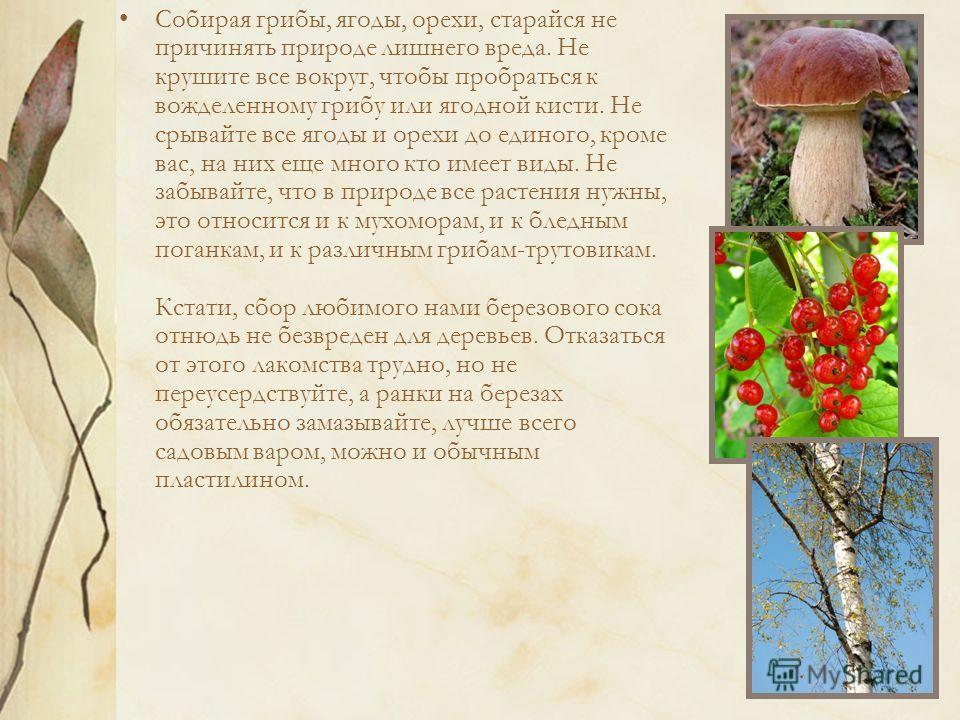 Собирая грибы, ягоды, орехи, старайся не причинять природе лишнего вреда. Не крушите все вокруг, чтобы пробраться к вожделенному грибу или ягодной кисти. Не срывайте все ягоды и орехи до единого, кроме вас, на них еще много кто имеет виды. Не забывай
