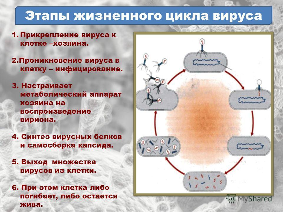 Этапы жизненного цикла вируса 1.Прикрепление вируса к клетке –хозяина. 2.Проникновение вируса в клетку – инфицирование. 3. Настраивает метаболический аппарат хозяина на воспроизведение вириона. 4. Синтез вирусных белков и самосборка капсида. 5. Выход