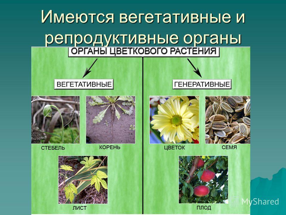 Имеются вегетативные и