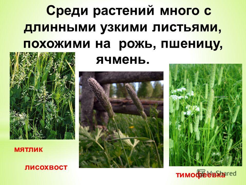 мятлик тимофеевка лисохвост Среди растений много с длинными узкими листьями, похожими на рожь, пшеницу, ячмень.