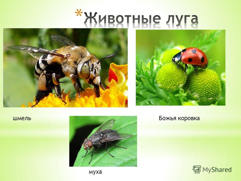 шмельБожья коровка муха