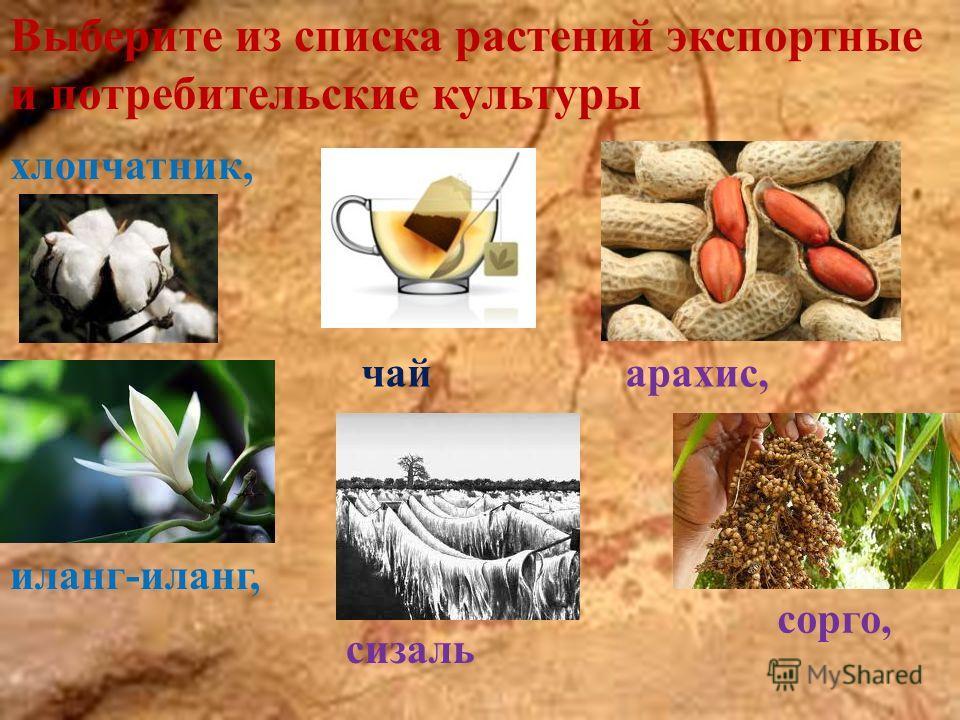 Выберите из списка растений экспортные и потребительские культуры хлопчатник, иланг-иланг, чай сизаль арахис, сорго,