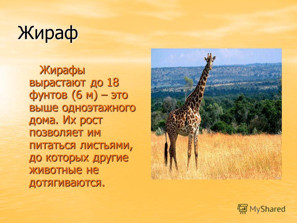 Жираф Жирафы вырастают до 18 фунтов (6 м) – это выше одноэтажного дома. Их рост позволяет им питаться листьями, до которых другие животные не дотягиваются. Жирафы вырастают до 18 фунтов (6 м) – это выше одноэтажного дома. Их рост позволяет им питатьс