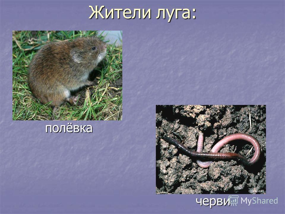 Жители луга: полёвка полёвка черви черви