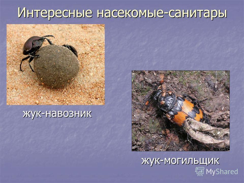 Интересные насекомые-санитары жук-навозник жук-навозник жук-могильщик жук-могильщик