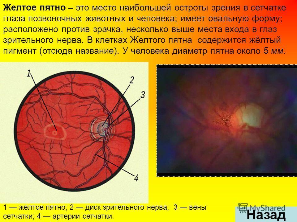 Желтое пятно – это место наибольшей остроты зрения в сетчатке глаза позвоночных животных и человека; имеет овальную форму; расположено против зрачка, несколько выше места входа в глаз зрительного нерва. В клетках Желтого пятна содержится жёлтый пигме