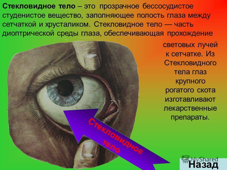 Стекловидное тело – это прозрачное бессосудистое студенистое вещество, заполняющее полость глаза между сетчаткой и хрусталиком. Стекловидное тело часть диоптрической среды глаза, обеспечивающая прохождение Назад световых лучей к сетчатке. Из Стеклови
