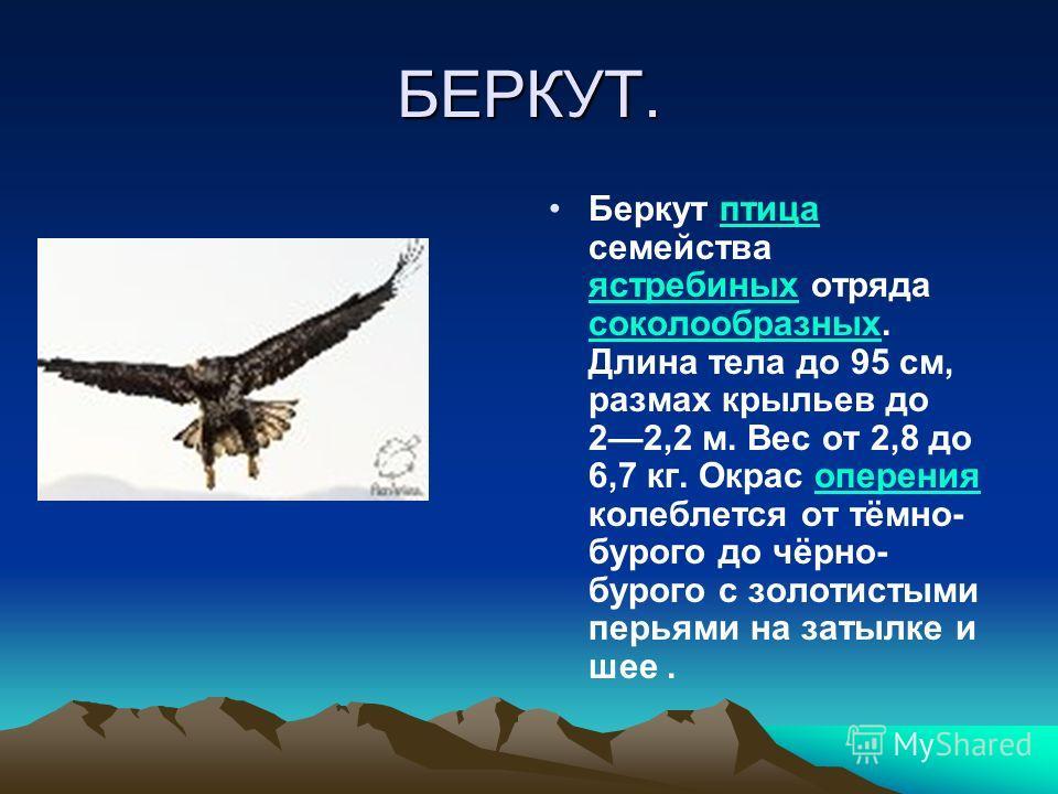 БЕРКУТ. Беркут птица семейства ястребиных отряда соколообразных. Длина тела до 95 см, размах крыльев до 22,2 м. Вес от 2,8 до 6,7 кг. Окрас оперения колеблется от тёмно- бурого до чёрно- бурого с золотистыми перьями на затылке и шее.птица ястребиных