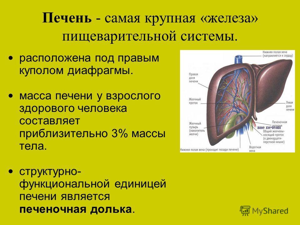 Печень - самая крупная «железа» пищеварительной системы. расположена под правым куполом диафрагмы. масса печени у взрослого здорового человека составляет приблизительно 3% массы тела. структурно- функциональной единицей печени является печеночная дол