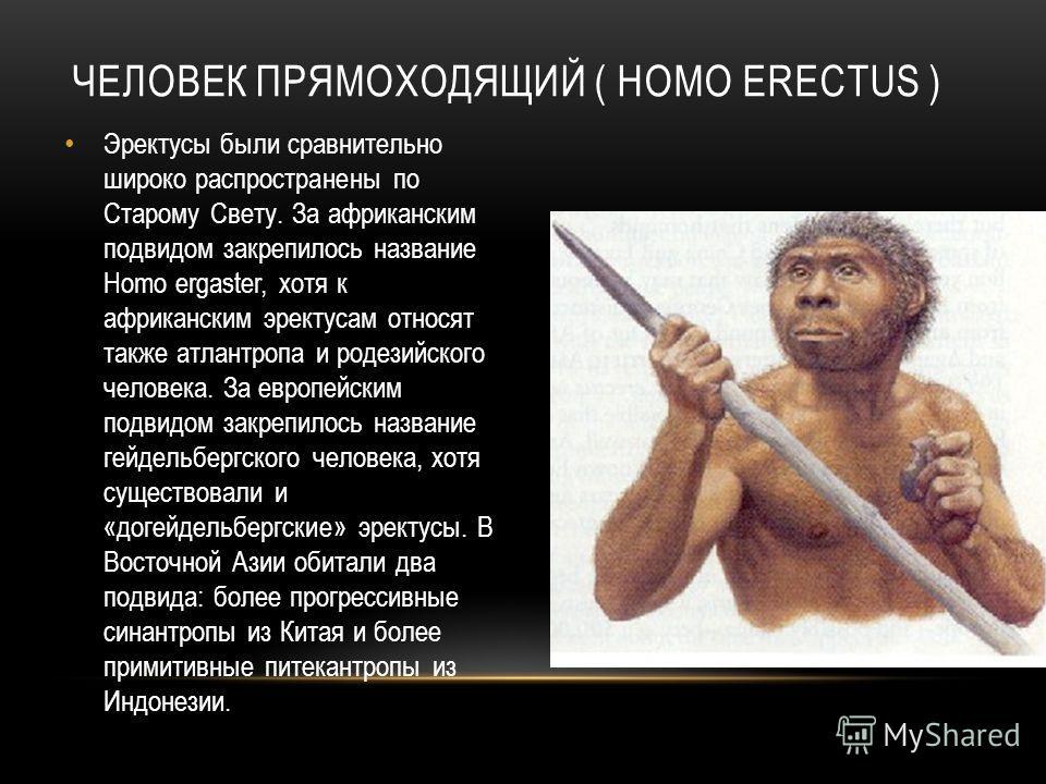 ЧЕЛОВЕК ПРЯМОХОДЯЩИЙ ( HOMO ERECTUS ) Эректусы были сравнительно широко распространены по Старому Свету. За африканским подвидом закрепилось название Homo ergaster, хотя к африканским эректусам относят также атлантропа и родезийского человека. За евр