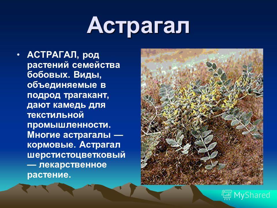 Астрагал АСТРАГАЛ, род растений семейства бобовых. Виды, объединяемые в подрод трагакант, дают камедь для текстильной промышленности. Многие астрагалы кормовые. Астрагал шерстистоцветковый лекарственное растение.