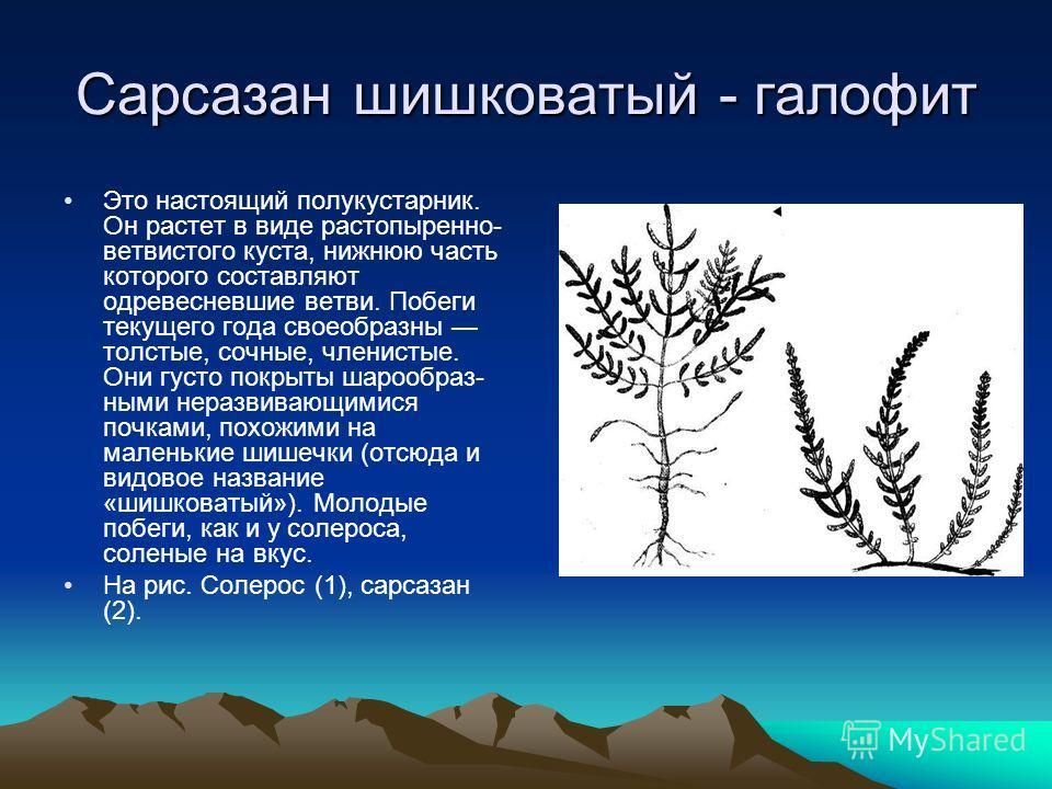 Сарсазан шишковатый - галофит Это настоящий полукустарник. Он растет в виде растопыренно- ветвистого куста, нижнюю часть которого составляют одревесневшие ветви. Побеги текущего года своеобразны толстые, сочные, членистые. Они густо покрыты шарообраз