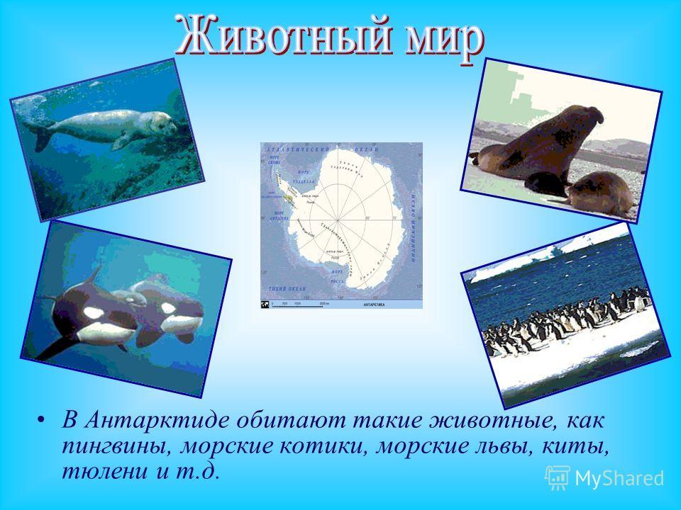 В Антарктиде обитают такие животные, как пингвины, морские котики, морские львы, киты, тюлени и т.д.