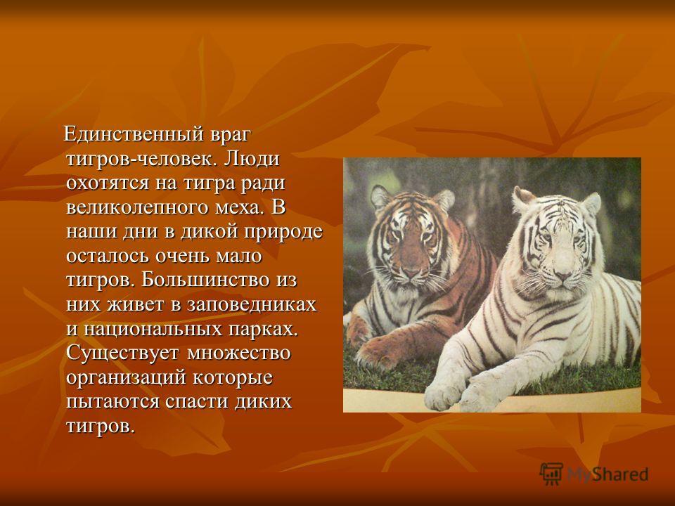 Единственный враг тигров-человек. Люди охотятся на тигра ради великолепного меха. В наши дни в дикой природе осталось очень мало тигров. Большинство из них живет в заповедниках и национальных парках. Существует множество организаций которые пытаются