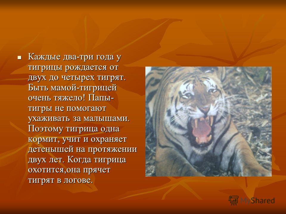 Каждые два-три года у тигрицы рождается от двух до четырех тигрят. Быть мамой-тигрицей очень тяжело! Папы- тигры не помогают ухаживать за малышами. Поэтому тигрица одна кормит, учит и охраняет детенышей на протяжении двух лет. Когда тигрица охотится,