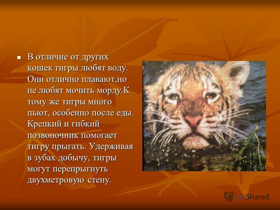 В отличие от других кошек тигры любят воду. Они отлично плавают,но не любят мочить морду.К тому же тигры много пьют, особенно после еды. Крепкий и гибкий позвоночник помогает тигру прыгать. Удерживая в зубах добычу, тигры могут перепрыгнуть двухметро